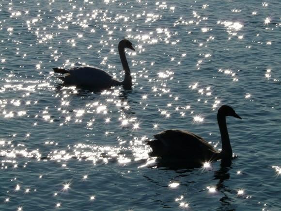 swan-10410_960_720
